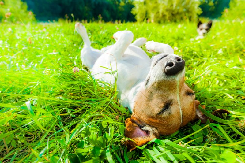 jack russell dog relaxing and resting on grass meadow at the park outdoors and outside on summer vacation holidays