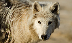 Nature, Arctic Wolf Pack