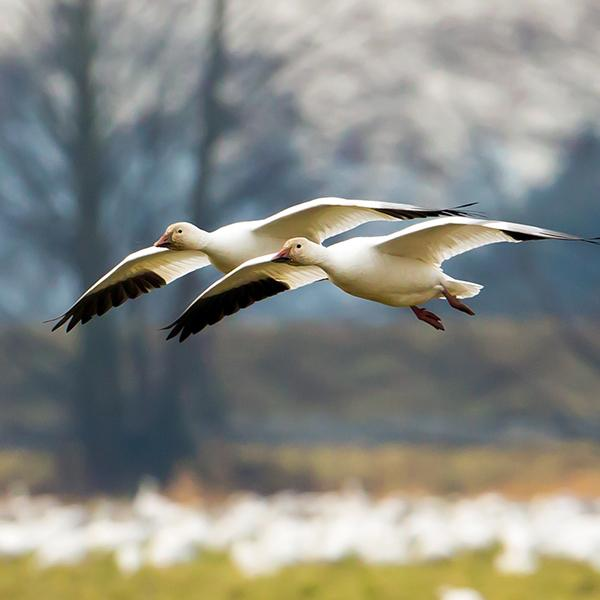 Snow Geese, by Mick Thompson