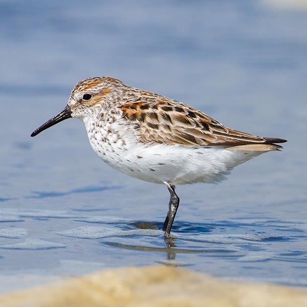 Western Sandpiper, by Mick Thompson