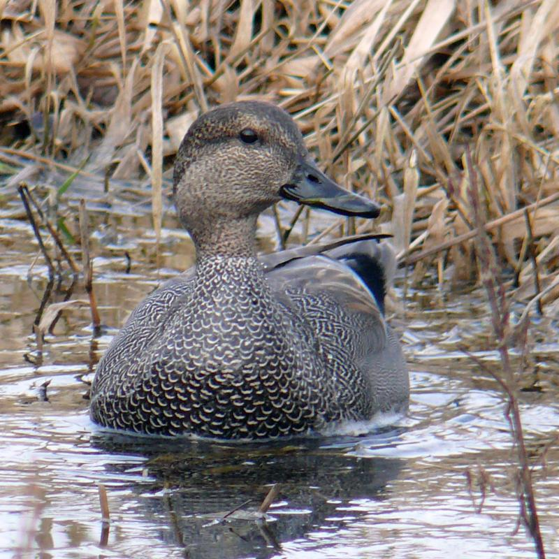 Gadwall_ by Ollie Oliver