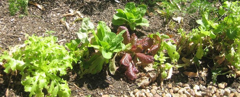 Lettuce & garden