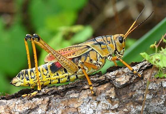 Picture of Lubber Grasshopper