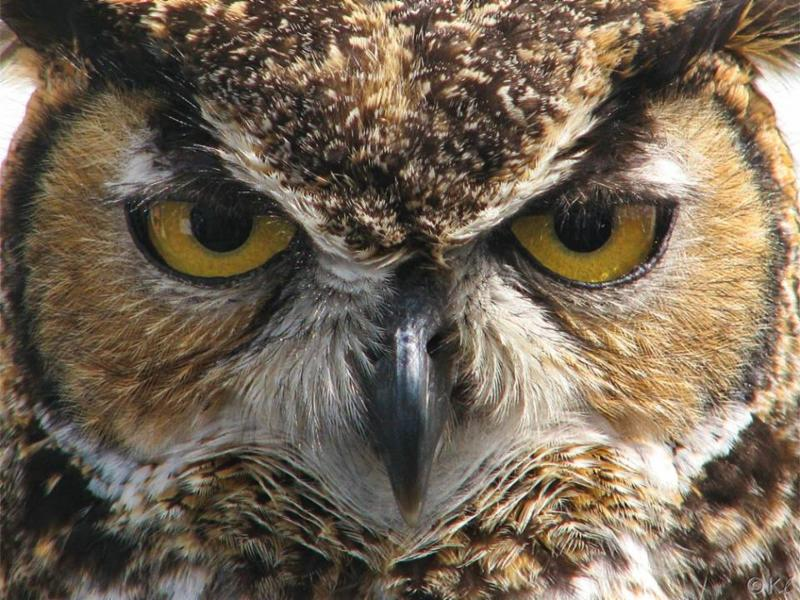 Great-horned owl_Karyn H. Lewis