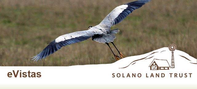 great blue heron Muehleisen