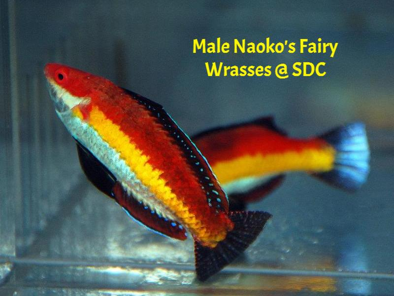 033113 naoko's fairy wrasse male