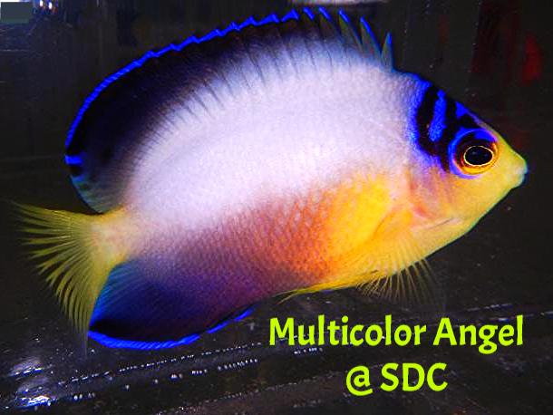multicolor angel