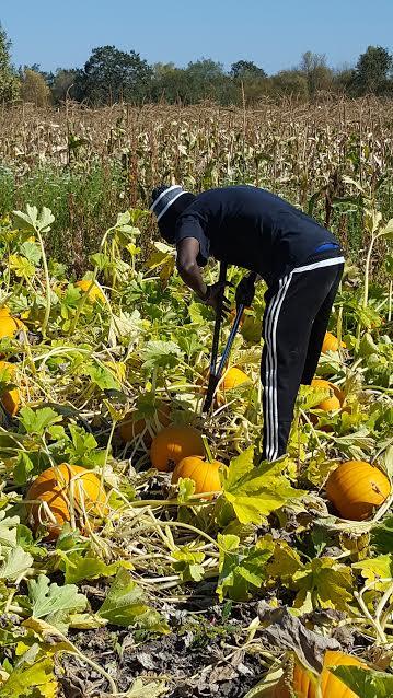 Laguna Farm Pumpkin Harvest