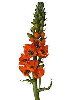 Dubium orange