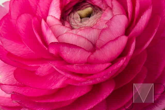 pink ranunclus
