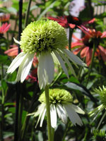 Coconut Lime Coneflower