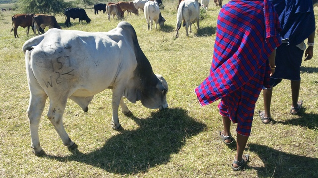 Maasai Stoves _ Solar cattle project
