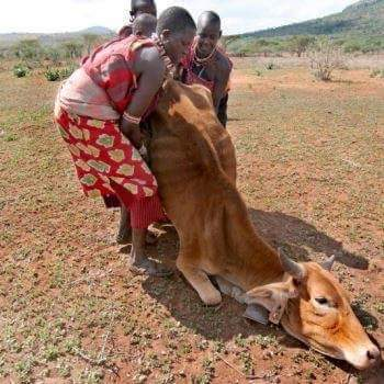 Cow weakened by drought