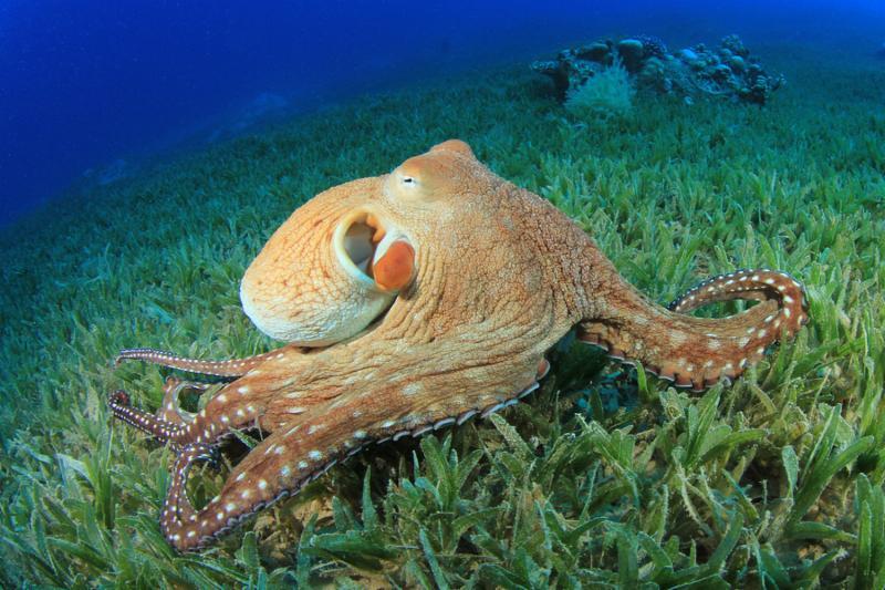 octopus_sea_aquatic.jpg