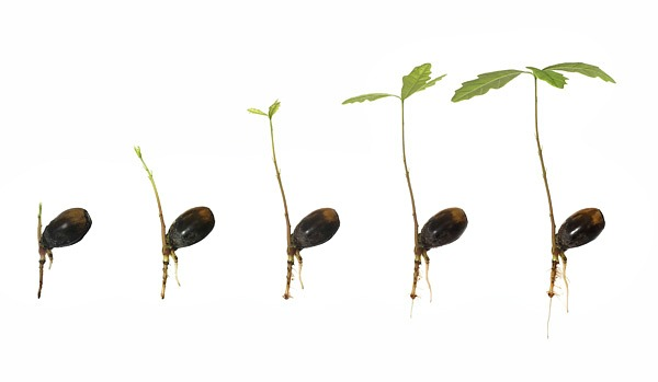 acorns with sprouts