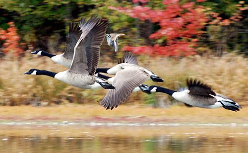 ducks migrating