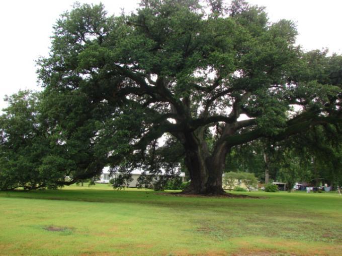 Randall Oak Tree
