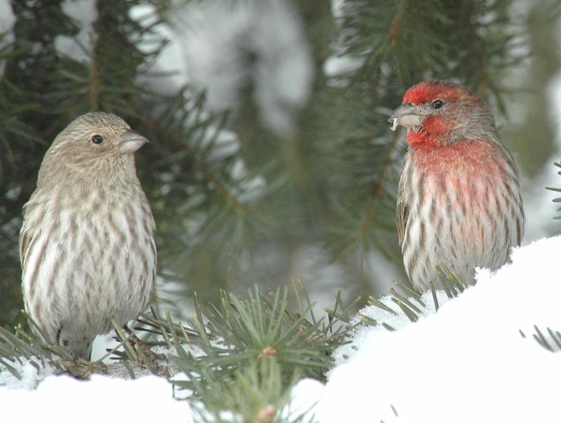 male and female house finch in the snow