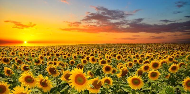 field_of_sunflowers.jpg