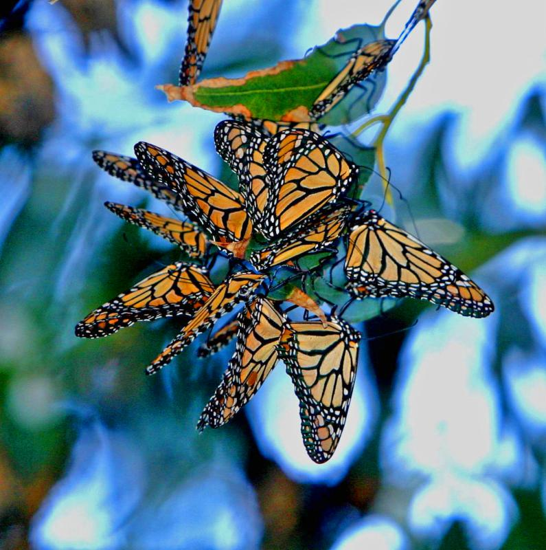 monarch butterflies by Kevin Fox