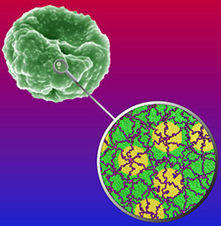 Researchers receive seed grant to predict red blood cell deformability