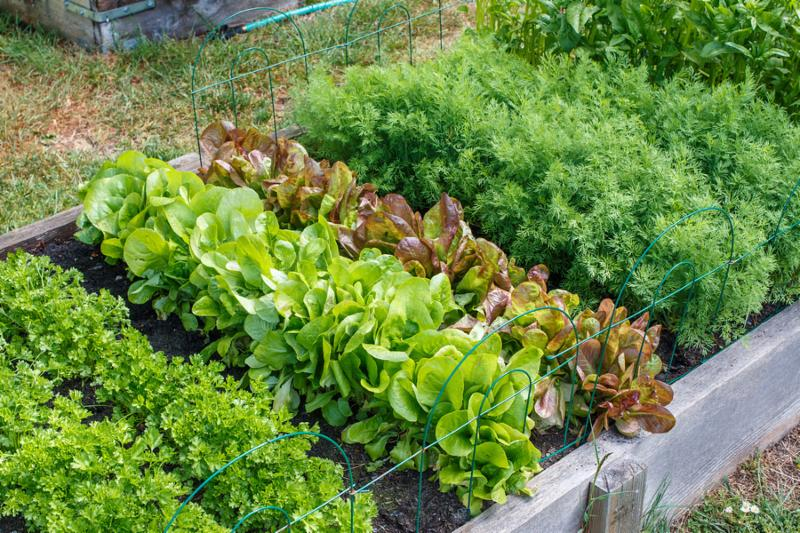 Parsley lettuce and carrot plants in a raised garden bed.