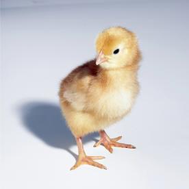 fuzzy-chick.jpg