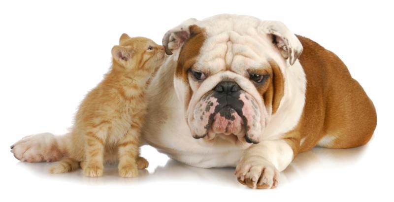 kitten_bulldog_secret.jpg