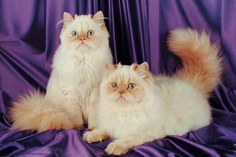 Cats Pedigreed