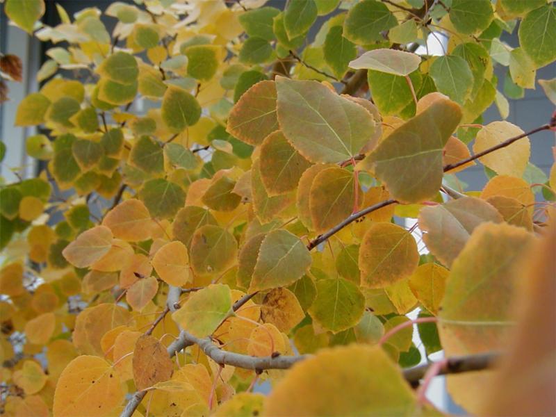 Aspen leaves in Villager