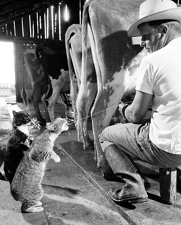 cat and milking_ pbs.twimg.com
