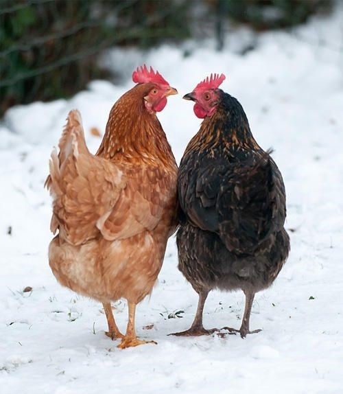 chickens chatting_ pinterest.com