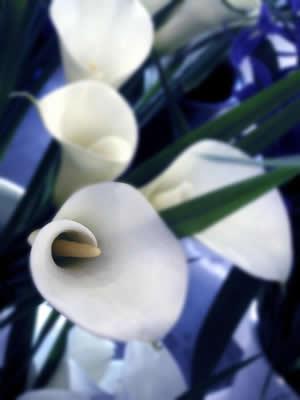 calla-lilies.jpg