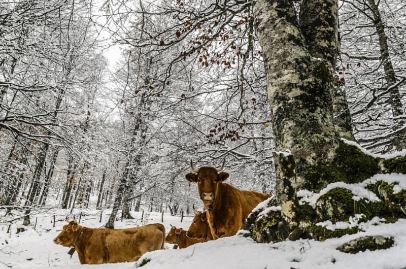 cows_snow.jpg
