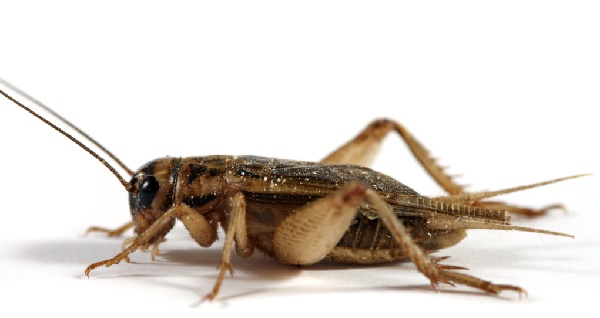 Cricket farming to create sustainable food source
