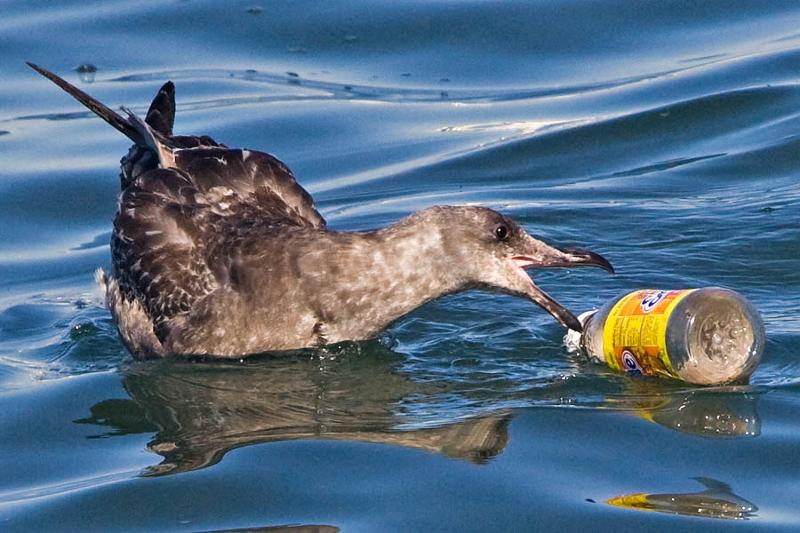 sea bird/plastic
