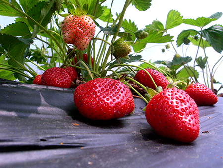 Pick Your Own Strawberries_