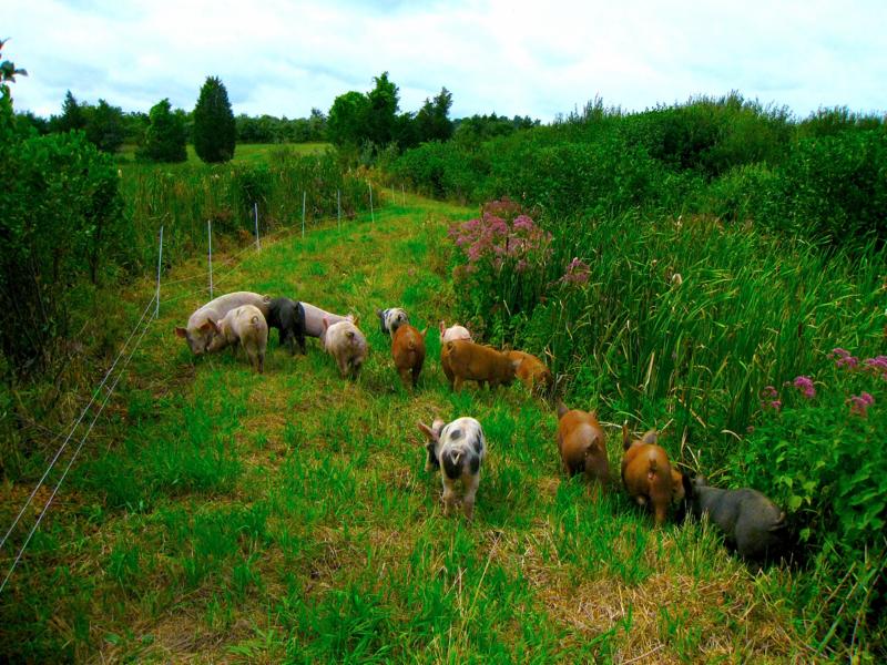 Spring Rain Farm Pigs