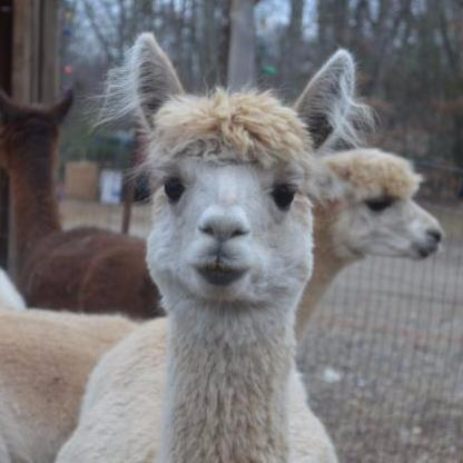 Kave Rock Alpaca Farm