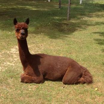Lounging Alpaca
