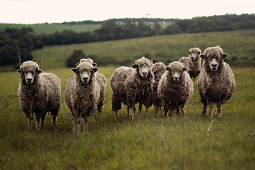 Do you raise sheep or alpaca_