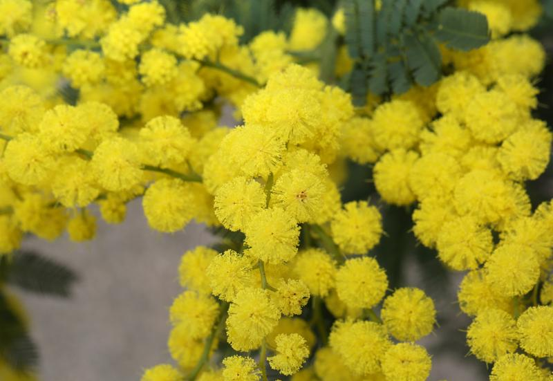 beautiful yellow mimosa flowers for International Women s Day