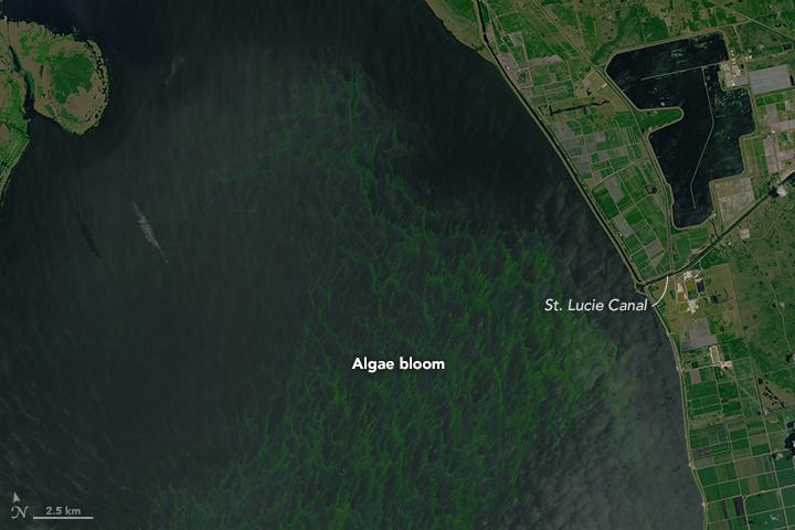 Okeechobee Algae Bloom