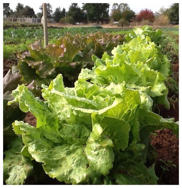 Lettuce - rain