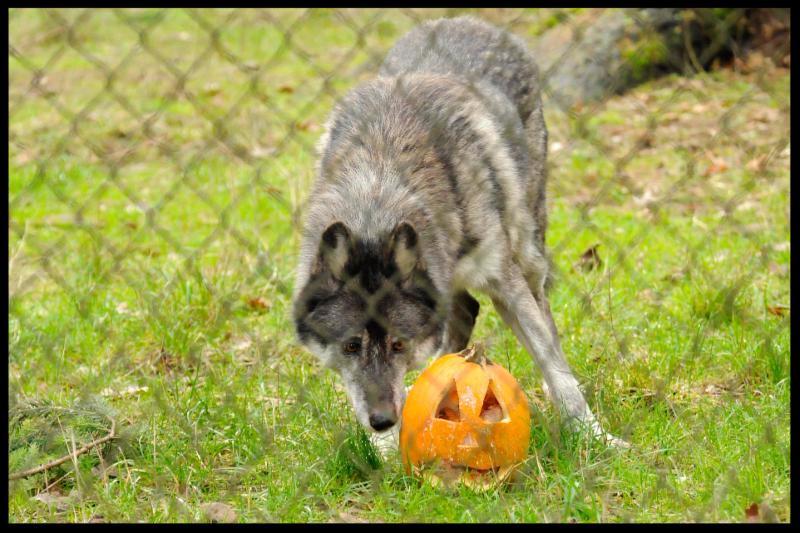 Houston enjoys a stuffed pumpkin for enrichment