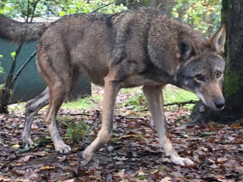 Nash is one of the red wolves recommended for breeding this year