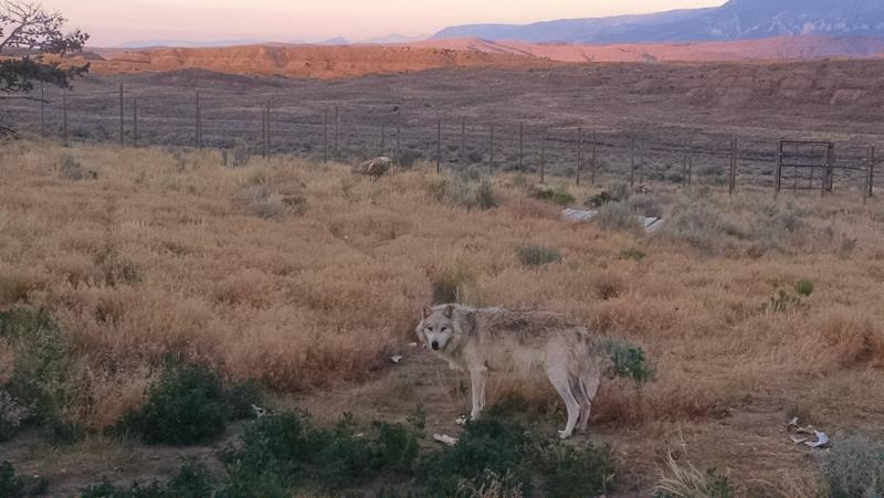 Wolf against Montana skyline