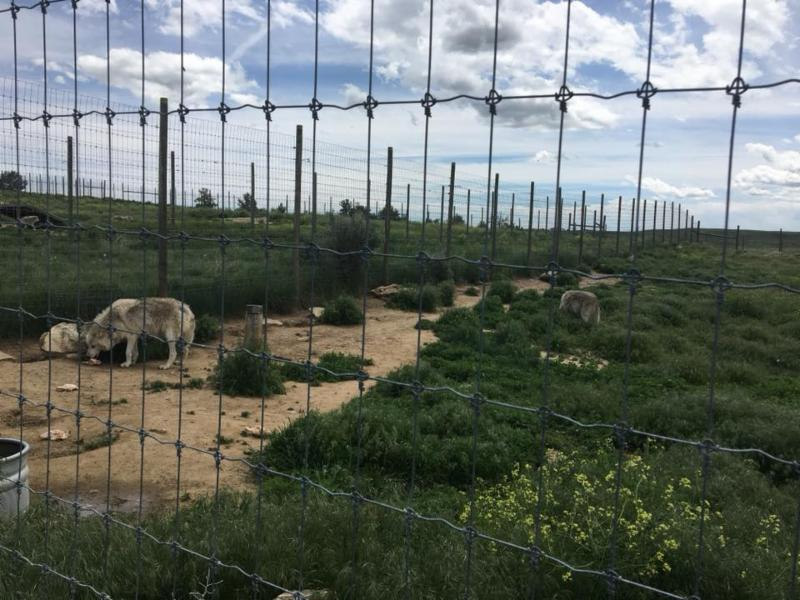 Some of the wolves in their enclosure at feeding time