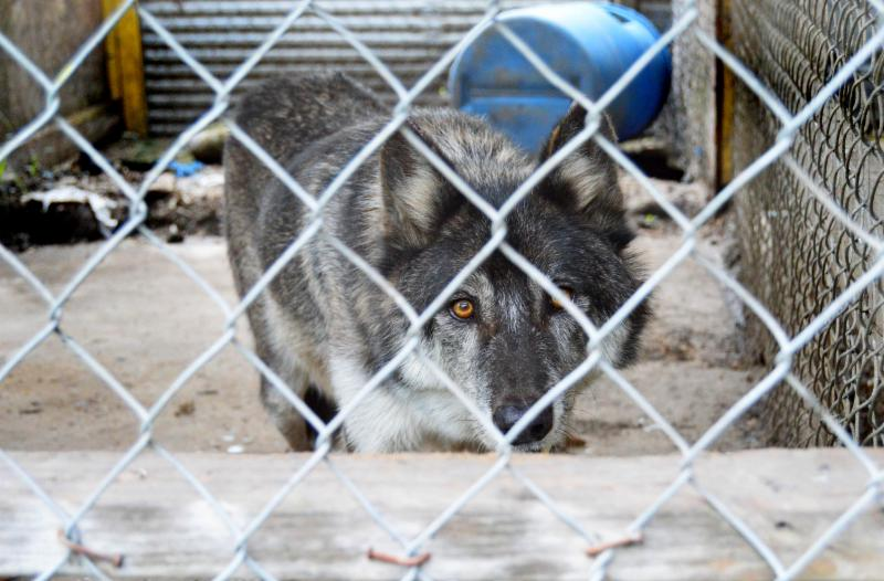 Mexican wolf pup - USFWS photo