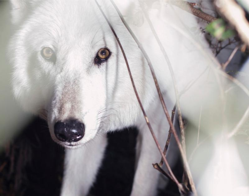 This picture of Lonnie is one of the several wolf photos highlighted in the book